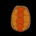 Quelle: https://de.wikipedia.org/wiki/Schildkr%C3%B6ten#/media/File:Carapax_DE.svg